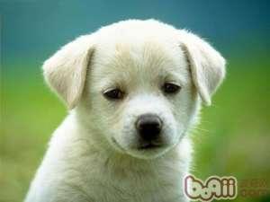 如何帮狗狗安度过年的鞭炮声-成犬饲养