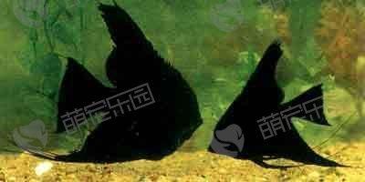 黑神仙鱼该怎么饲养?